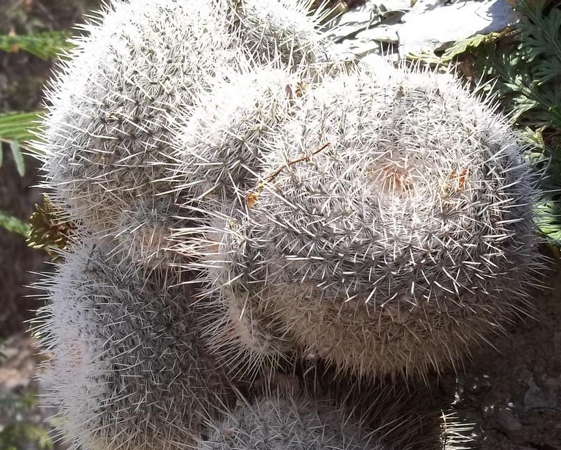 Confirmation Mammillaria gemnispina from Tolantongo, Hidalgo 5472651002105Copie