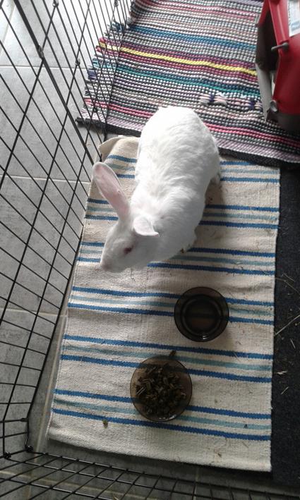 [ADOPTEE] Althéa, lapine de laboratoire à adopter 552244AltheaFiche2