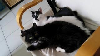 [Adopté] Jazi, angora noir et blanc 5522952470637480254753069829063524961866260719n