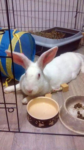 [ADOPTEE] Asae, lapine de laboratoire à adopter 552704Asae2mois