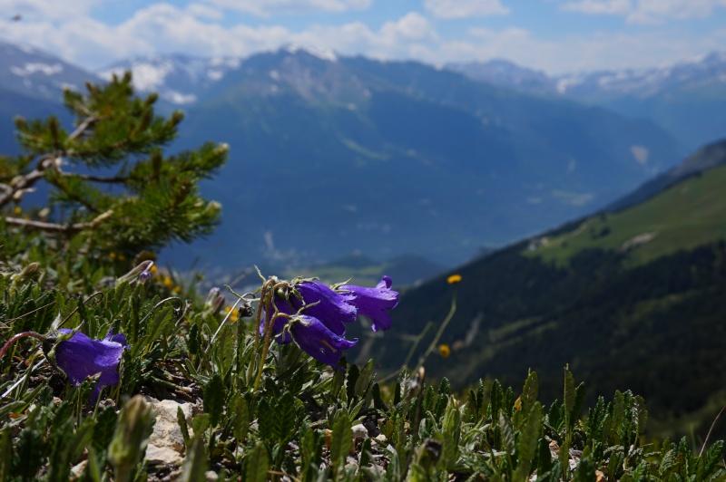 pas de carni mais de jolies plantes alpines ! 556740DSC03416
