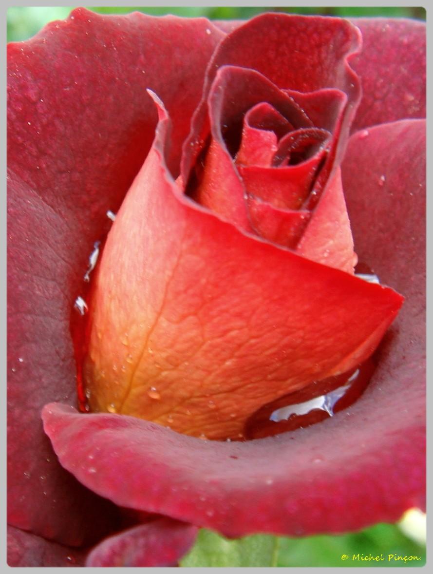 [Fil Ouvert] Fleurs - Page 12 558763DSC0127331