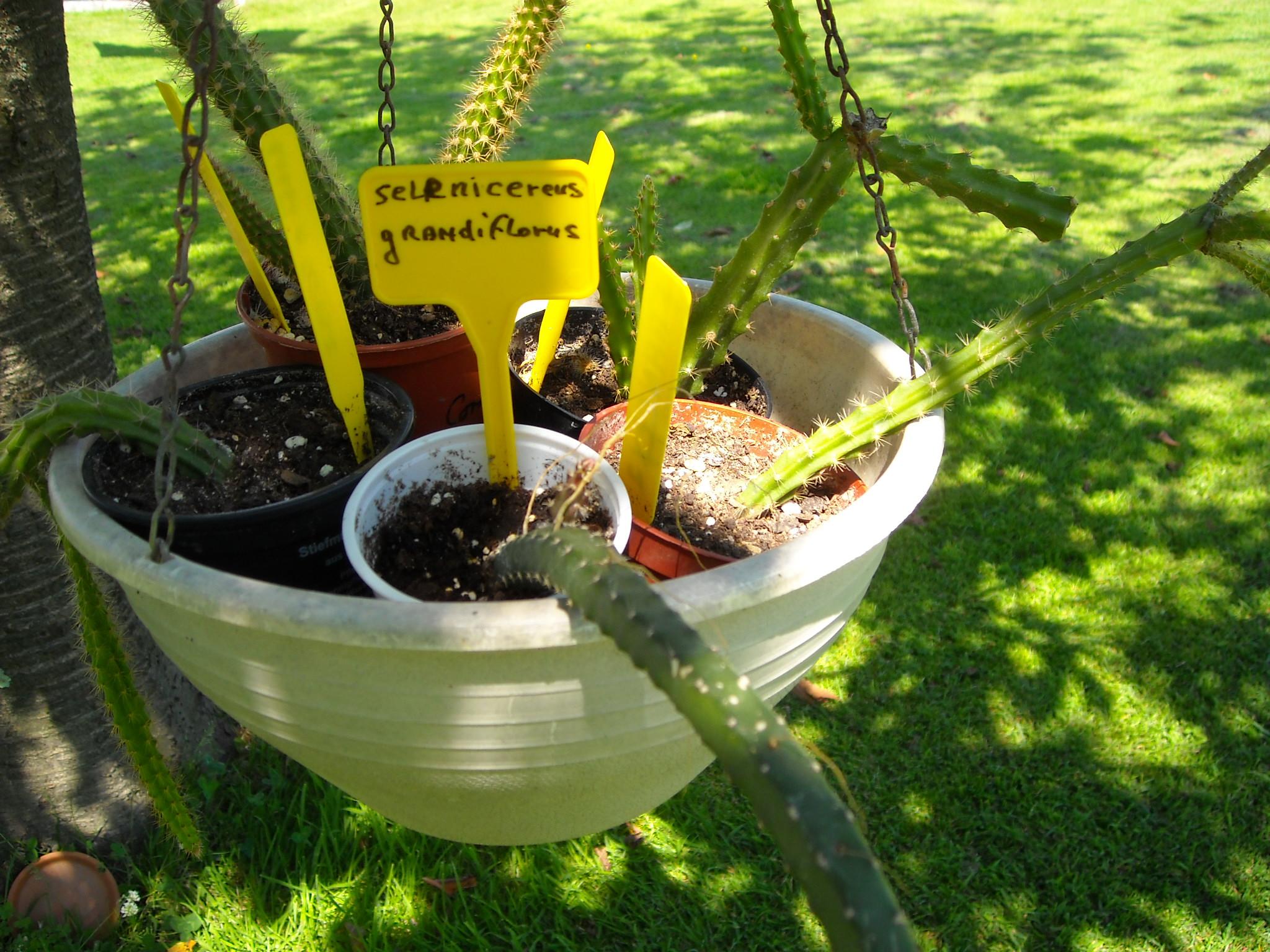 aporocactus beautg 561851potetaporoc008