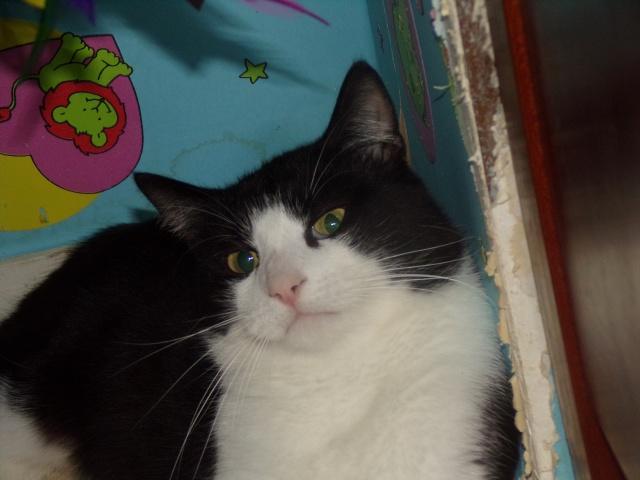KIT-KAT chat noir et blanc 1 an FIV+ (ADPK 35) 5666591030765