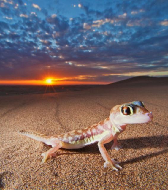 Quizz Gecko du désert 567650Gecko1