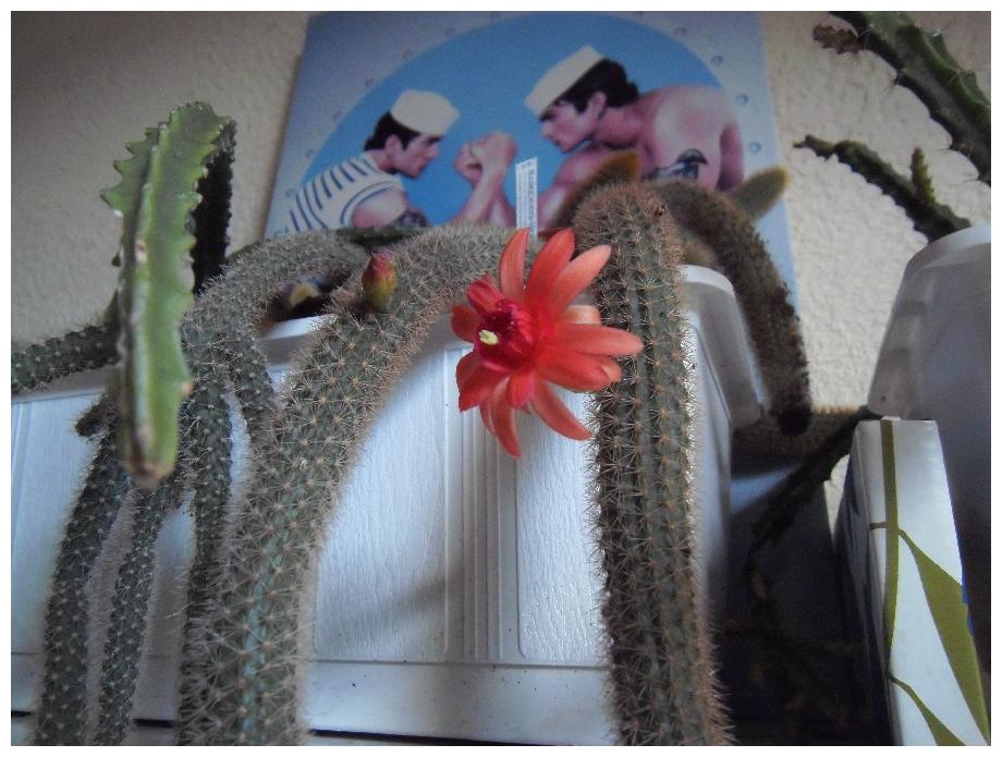 Floraisons Hildewintera ...  571029helmsneue1a