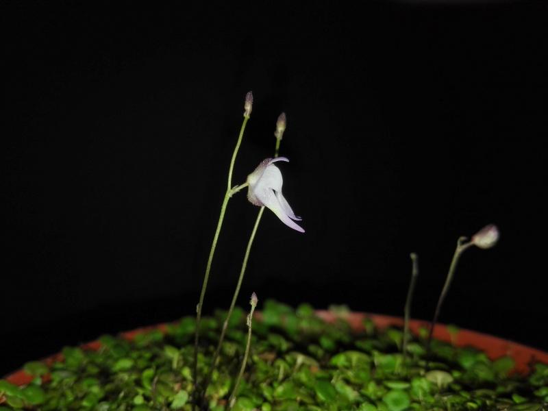 Utricularia pubescens 572735IMG20160407113916