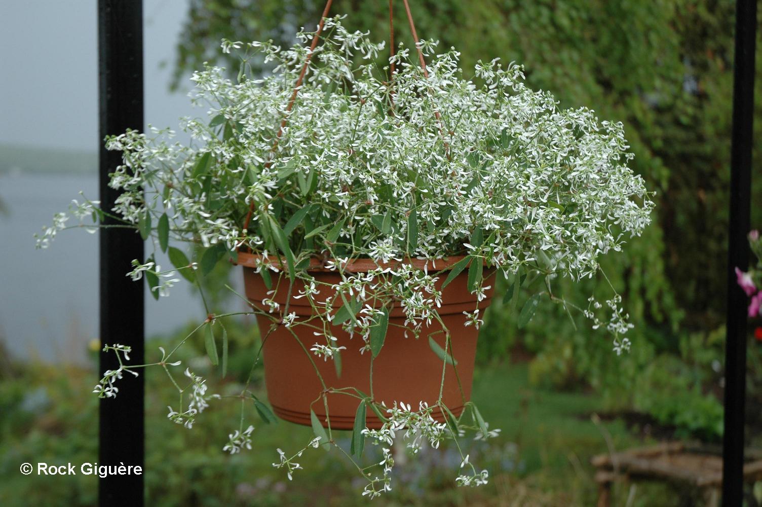 Euphorbia ' Diamond Frost ', toujours en fleurs 591975EuphorbiaDiamondFrost1small