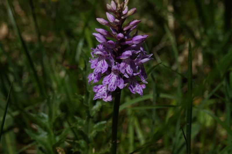 pas de carni mais de jolies plantes alpines ! 594227DSC03343