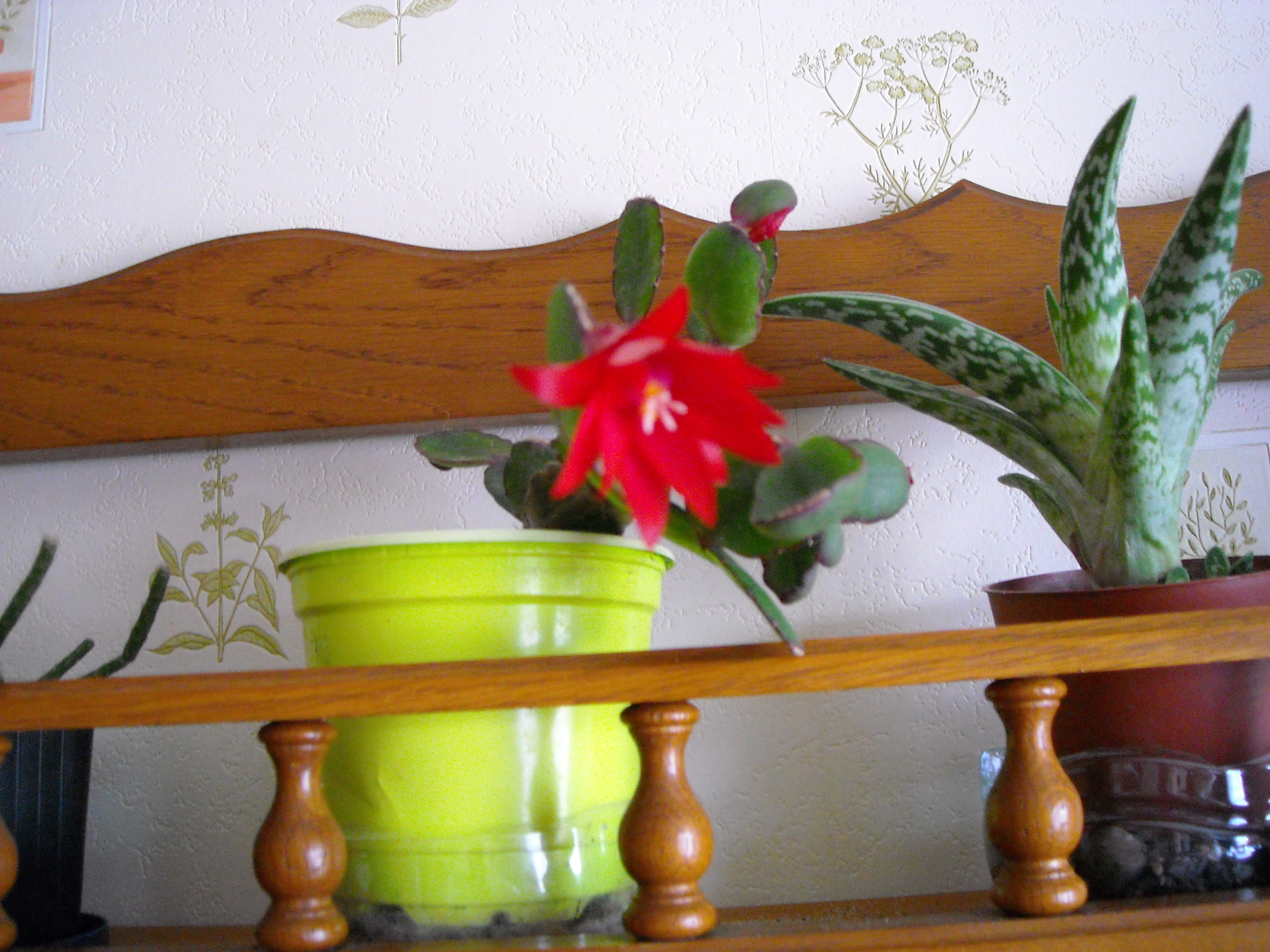 cactus de noel de mamie - Page 2 595166hoyaetautre006