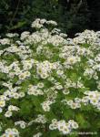 Partie Guérisseur : Les plantes de la Forêt 596319grandecamomille