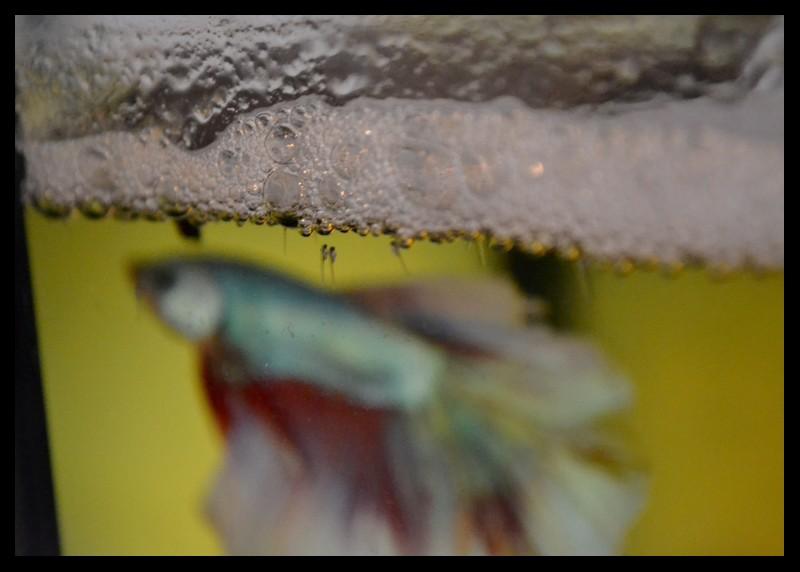 Mâle HM dragon BF x Femelle HM turquoise 600205DSC2214
