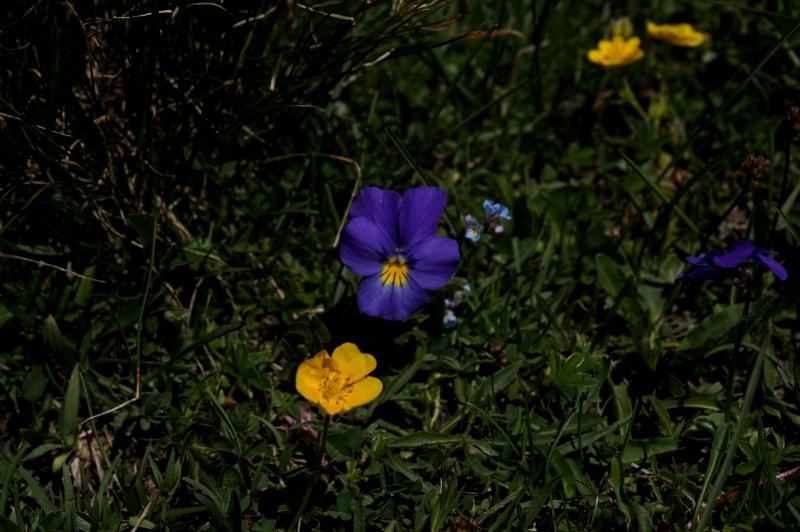 pas de carni mais de jolies plantes alpines ! 601072DSC03461