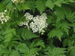 Partie Guérisseur : Les plantes de la Forêt 603415cerfeuil