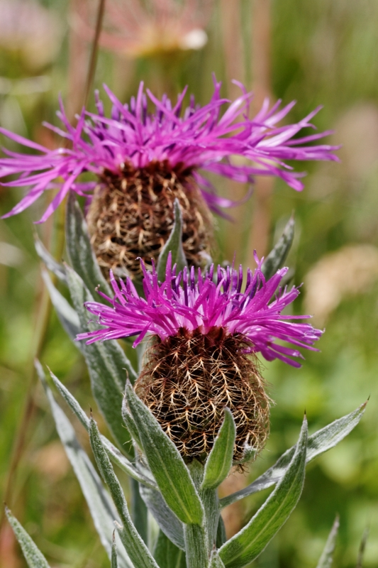 Flore et insectes de Vanoise 603883LelacBlanc050DxO800x600