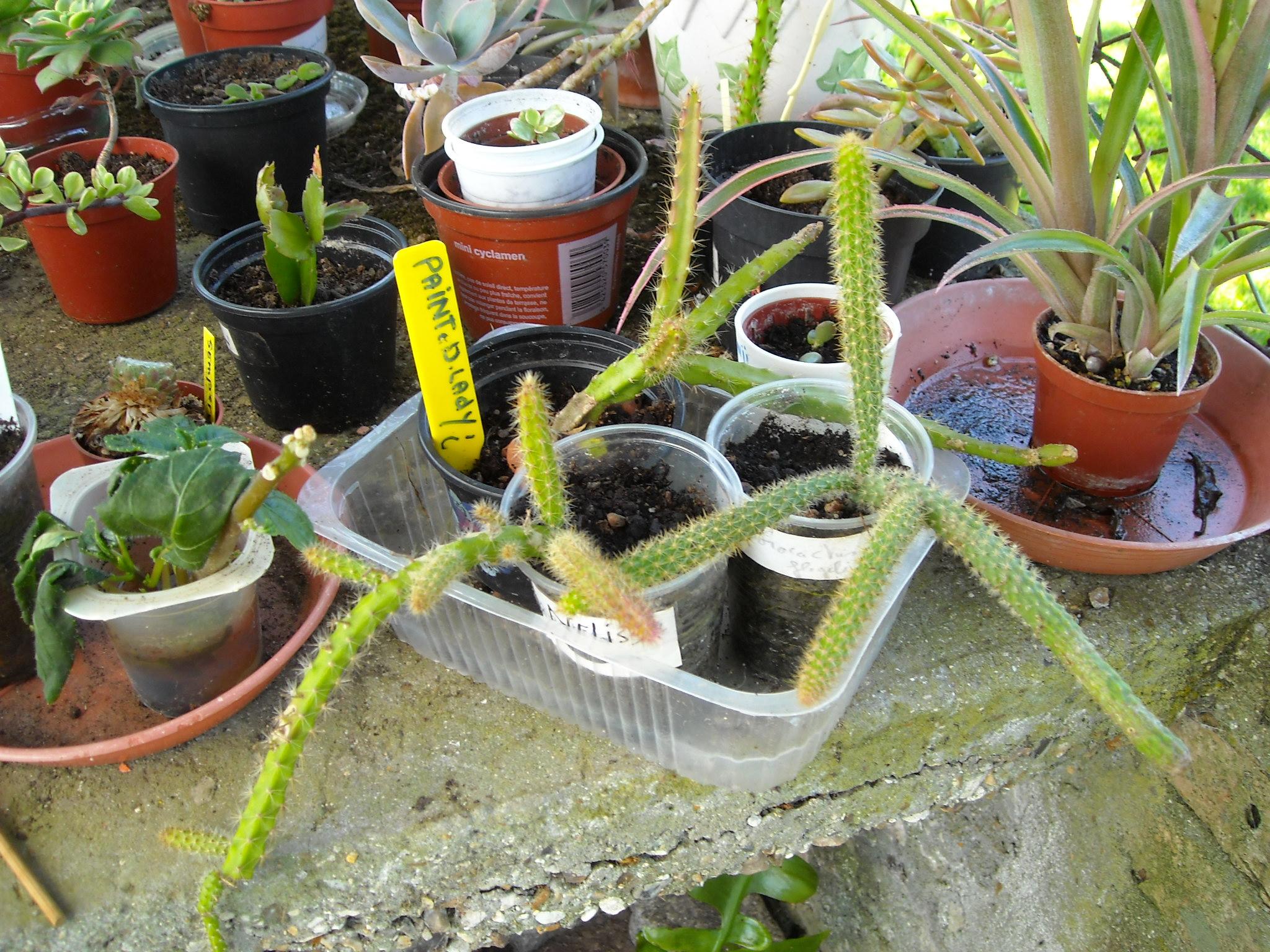 aporocactus beautg 606372potetaporoc003