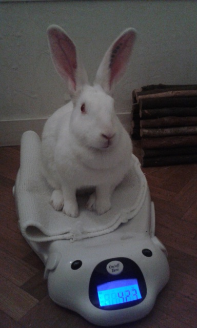 [ADOPTEE] Acacia, lapine de laboratoire à adopter 61576220151001002127