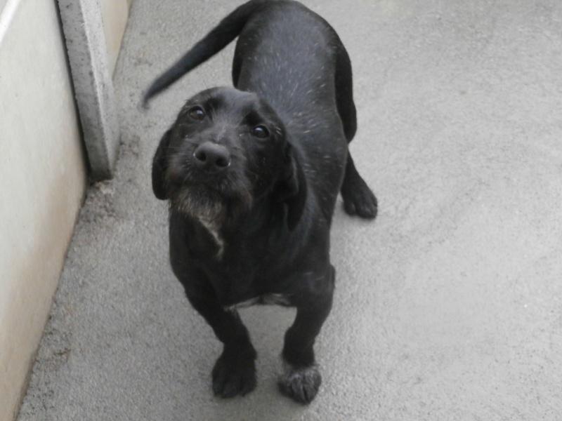 BOLIDE (chien croisé teckel/griffon) 618165P1233691