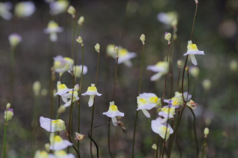 Utricularia Bisquamata 622676IMGP4755