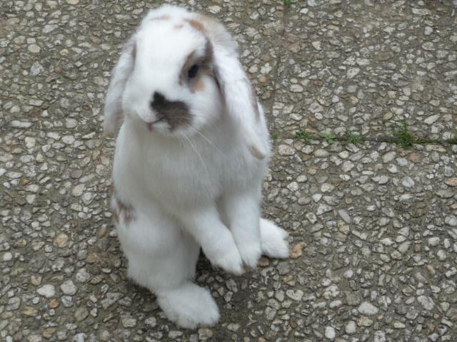 Nina, lapine bélier, née en aout 2011 - Page 7 625581P1130648