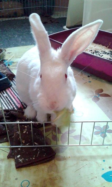 [ADOPTEE] Althéa, lapine de laboratoire à adopter 628412Althea2mois