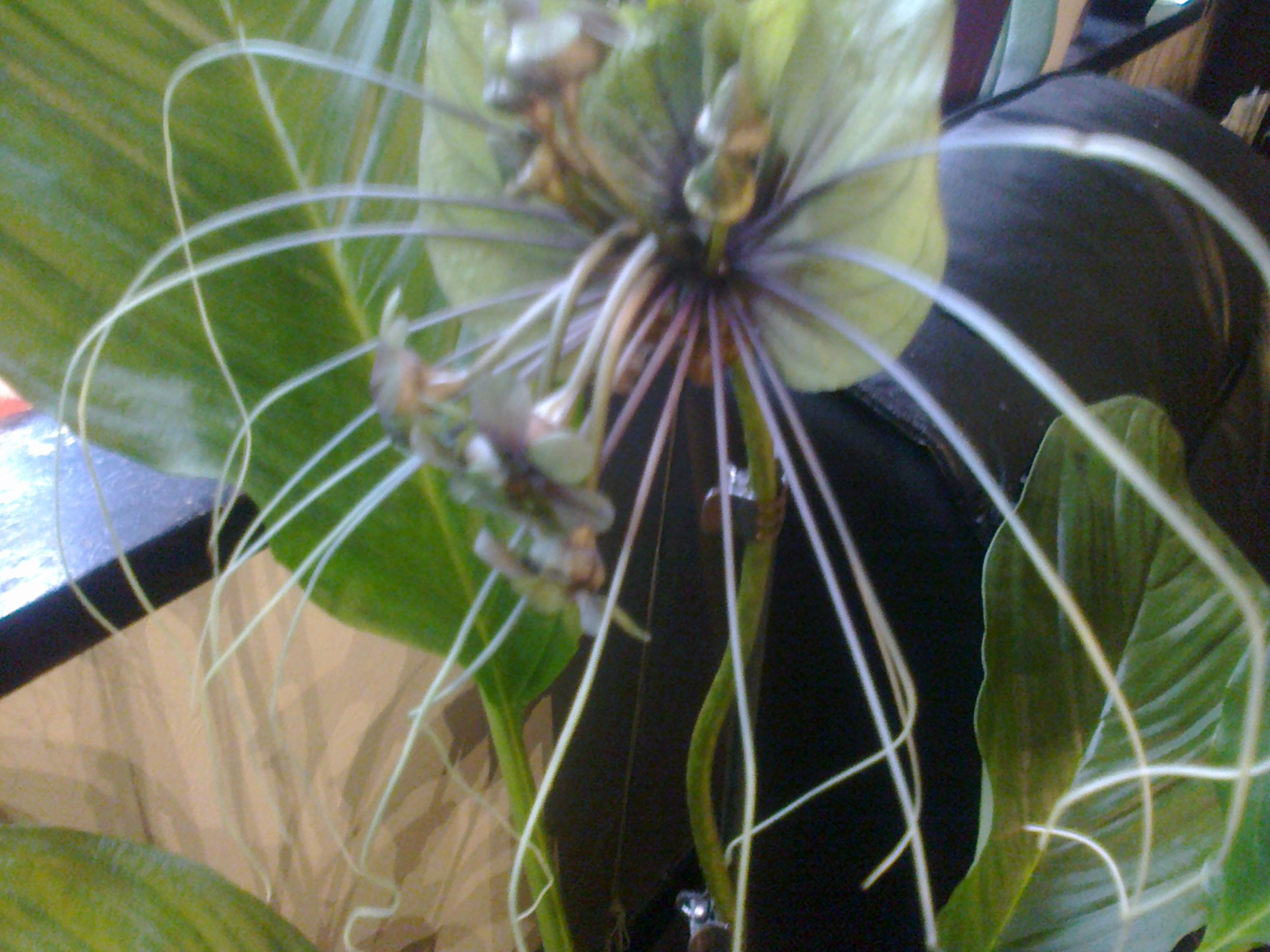 tacca green - Page 3 629685Photo0078