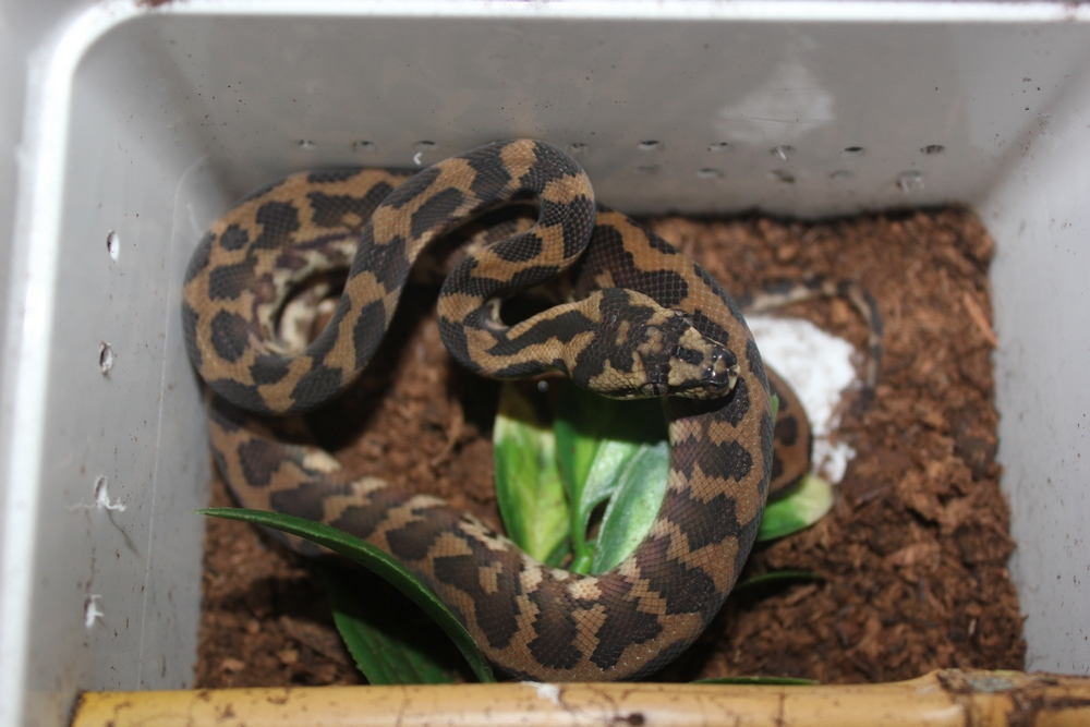 Vends Morelia spilota harrisoni 631667male6