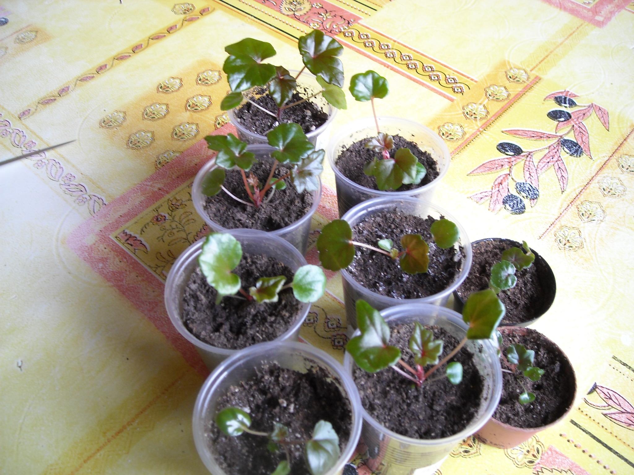 semis de bégonias 632202partita001