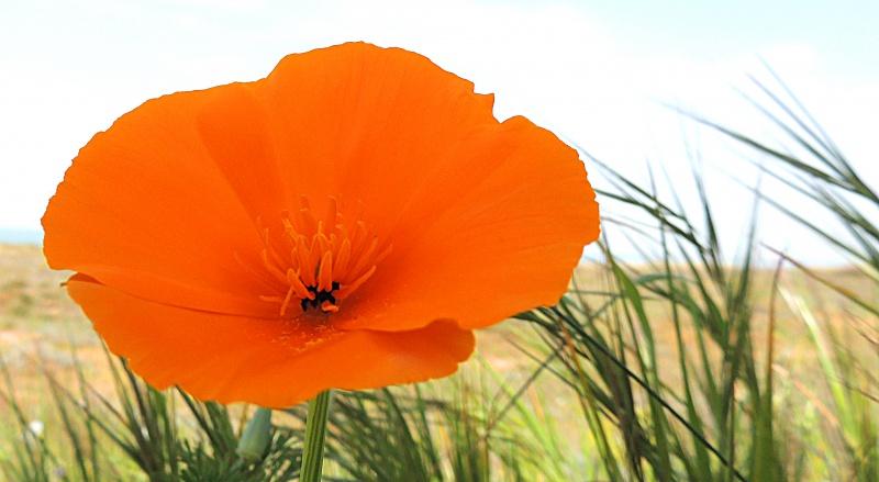 fleur de ile de ré :  Pavot de Californie  ou eschscholtzia  636429DSCN2097