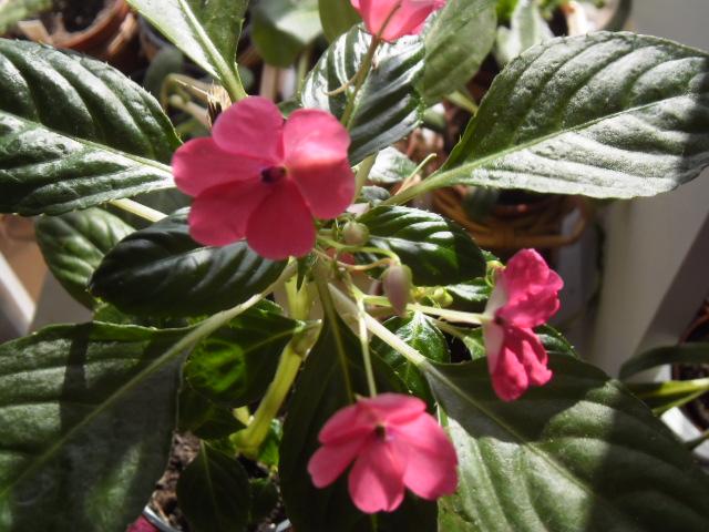 Floraison bouture Impatiens rose 637321impatiens