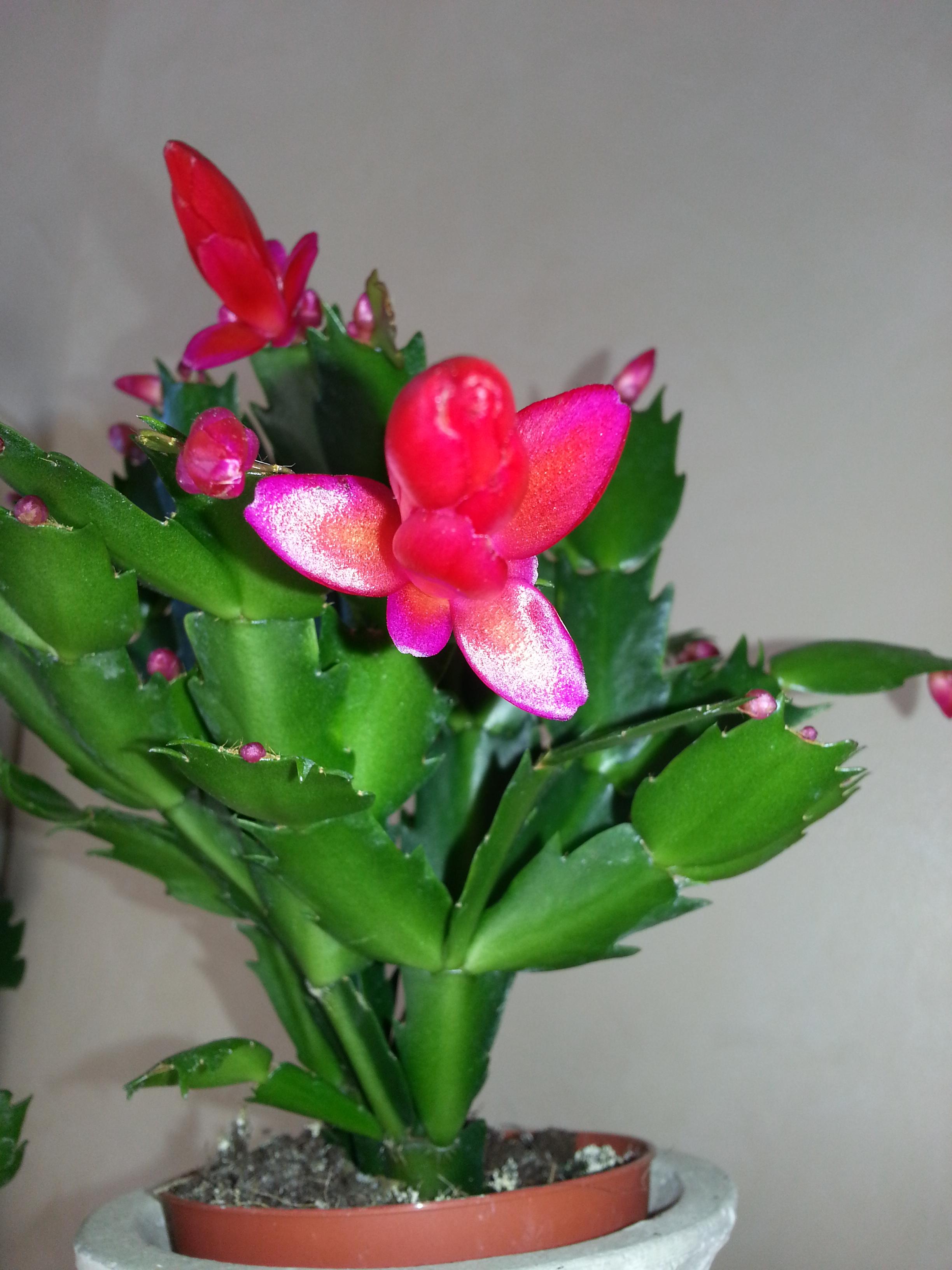 Schlumbergera blanc et rouge 64114620131210123537