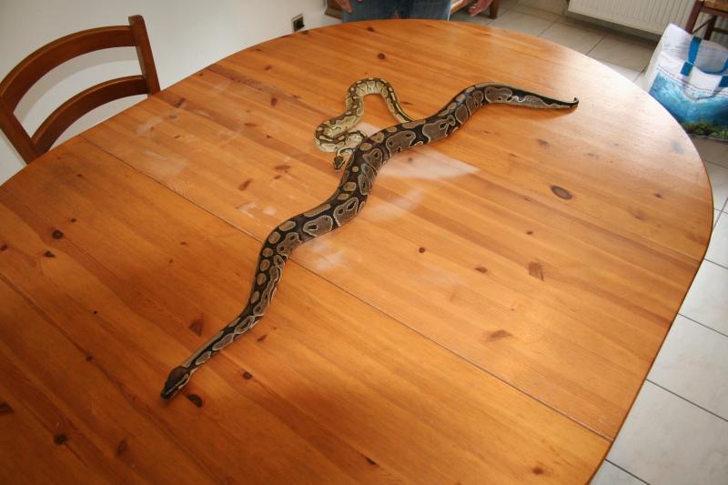 python regius pastel lesser et classique 642491IMG1128