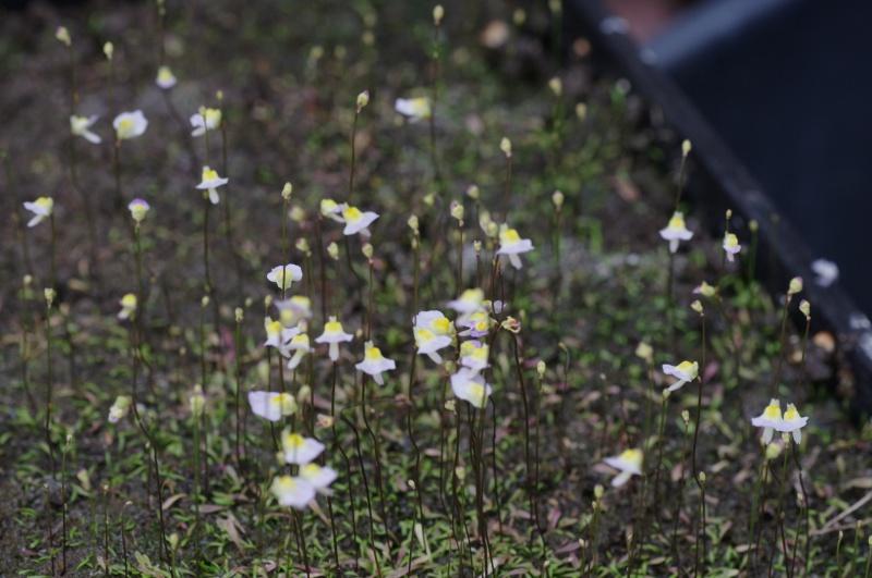 Utricularia Bisquamata 649093IMGP4753