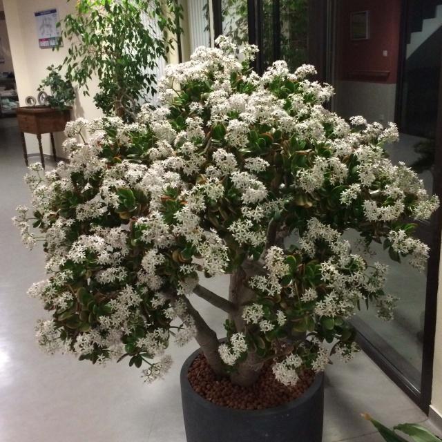 Les succulentes sur mon lieu de travail 649666crassulaovatamdr