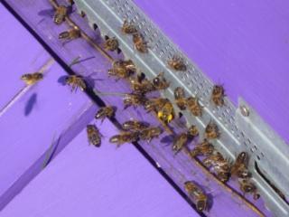 Les auxiliaires du jardinier : l'abeille noire (Apis mellifera mellifera) 650069P1020500