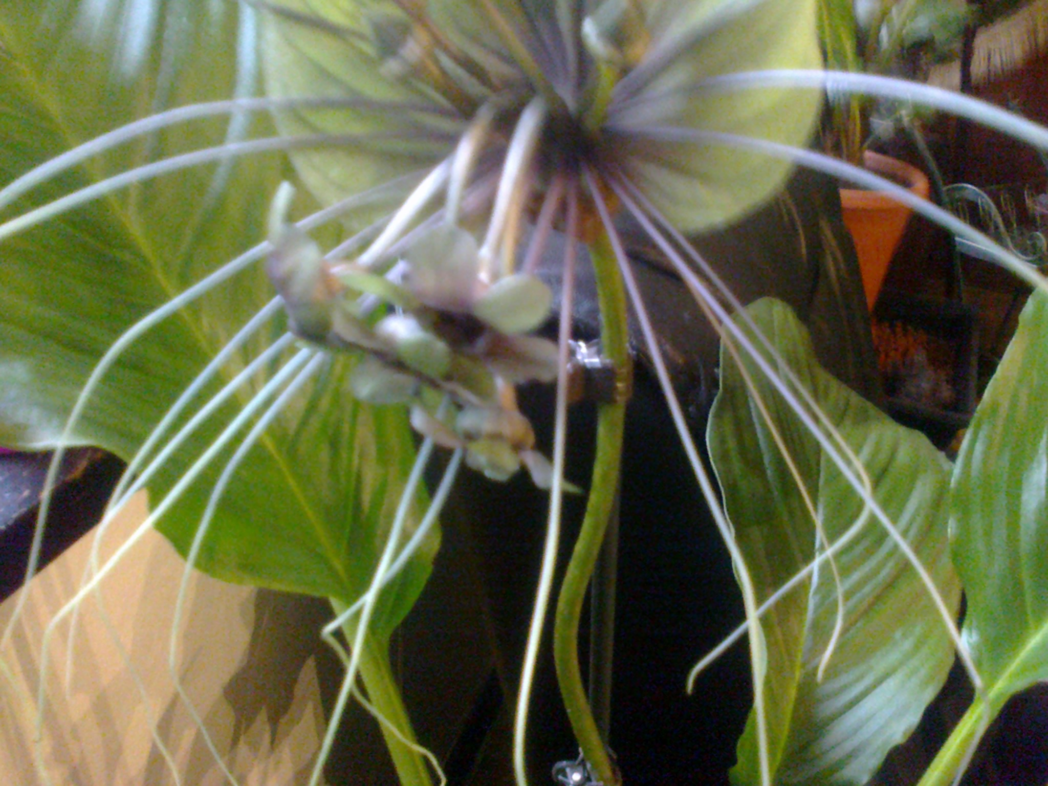 tacca green - Page 3 651127Photo0077