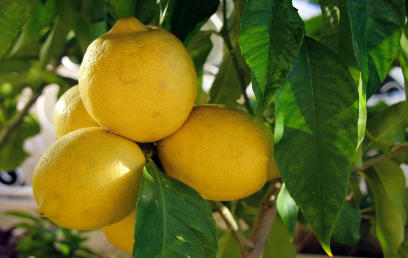 [Fil ouvert] Fruit sur l'arbre 651787IMG9312