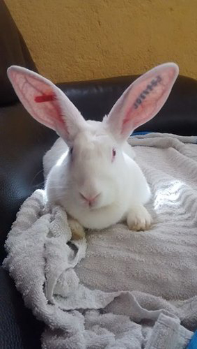 [ADOPTEE] Asae, lapine de laboratoire à adopter 653434AsaeCanape1