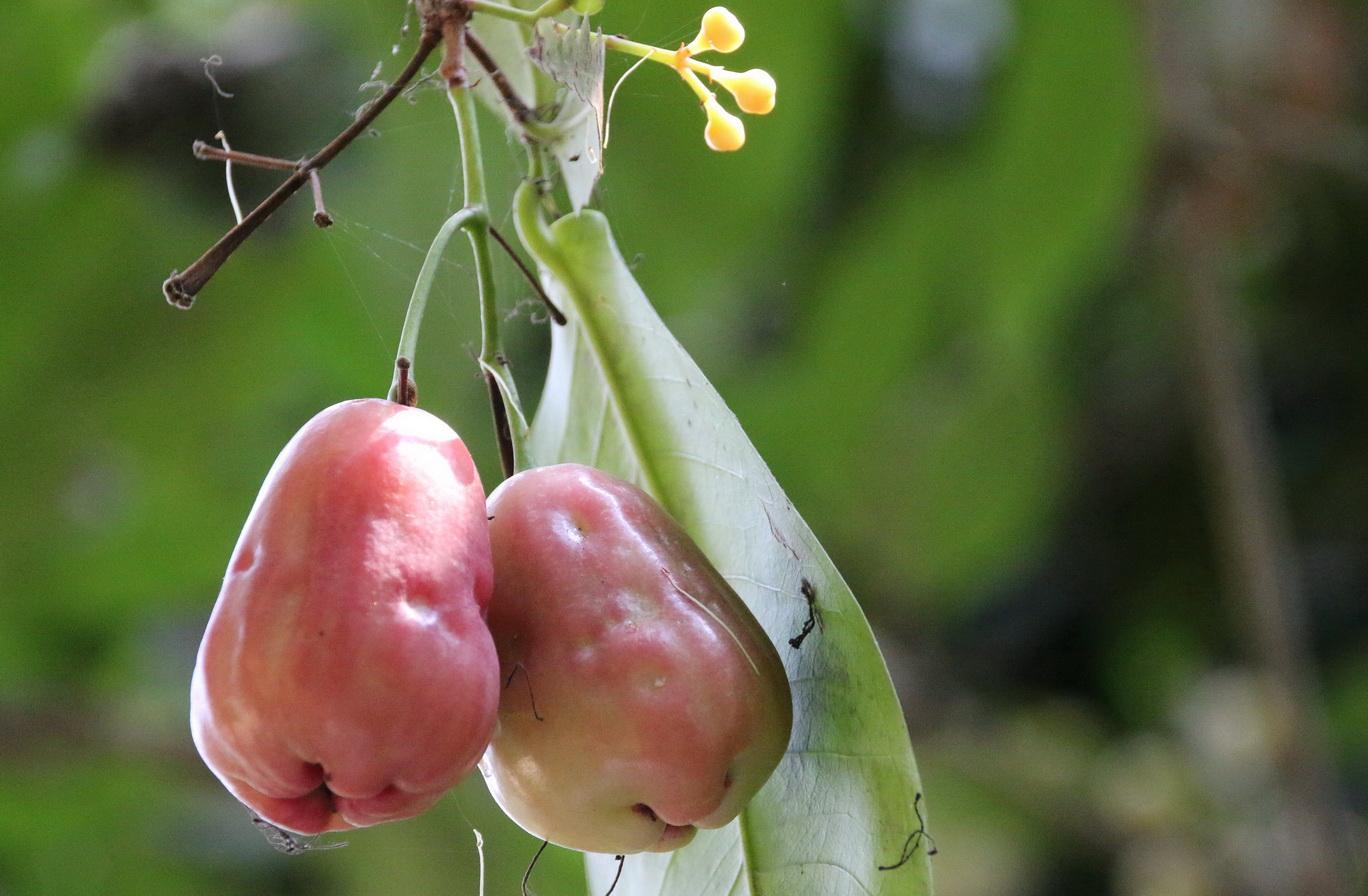 [Fil ouvert] Fruit sur l'arbre 655698IMG0663