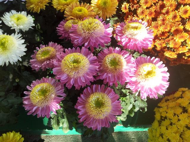 chrysanthèmes à gogo 66040120141028084803