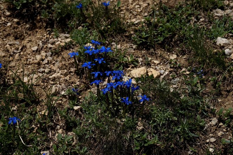 pas de carni mais de jolies plantes alpines ! 662554DSC03435