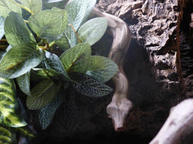 Boa constrictor amarali - Page 2 662909P1020595