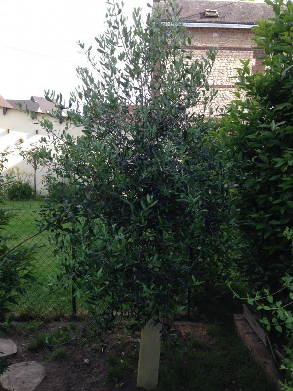 La culture et l'entretien de l'olivier- -Olea Europea - Page 4 666315IMG5620