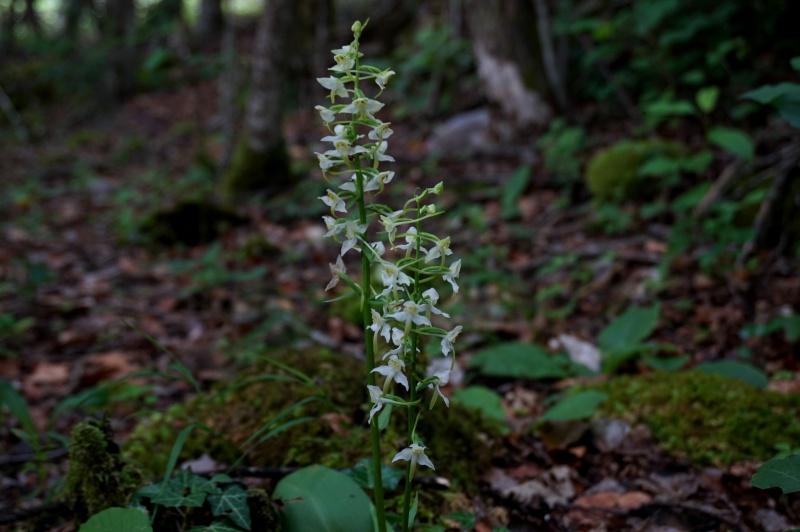pas de carni mais de jolies plantes alpines ! 668717DSC03076