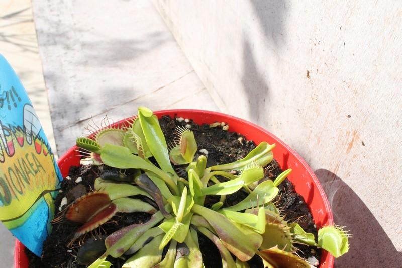 Dionaea Muscipula (Plante carnivore) 66946923aout201517Copier