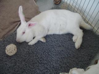 Association White Rabbit - Réhabilitation des lapins de laboratoire - Page 3 67001420150829Arrive19