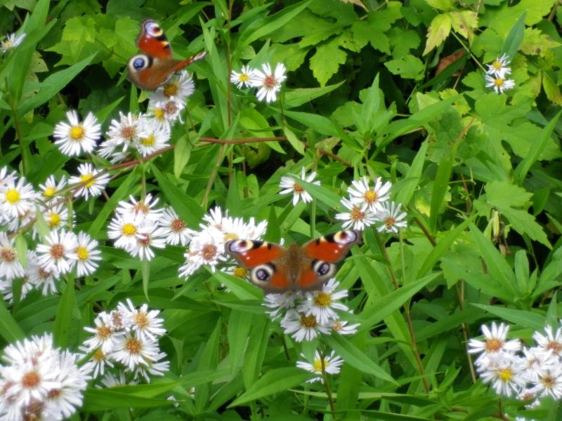 Papillon 678071IMGP7597