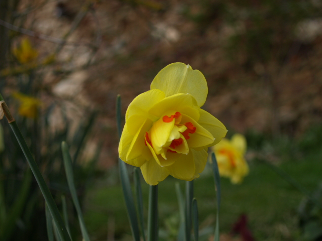 Jonquille, Narcisse - Page 3 678415P4063681