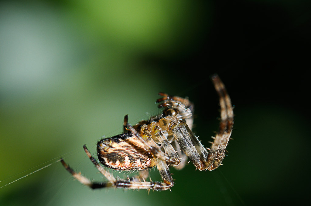 (FIL OUVERT à tous) vous aimez les araignées? 681029DSC67210904152532