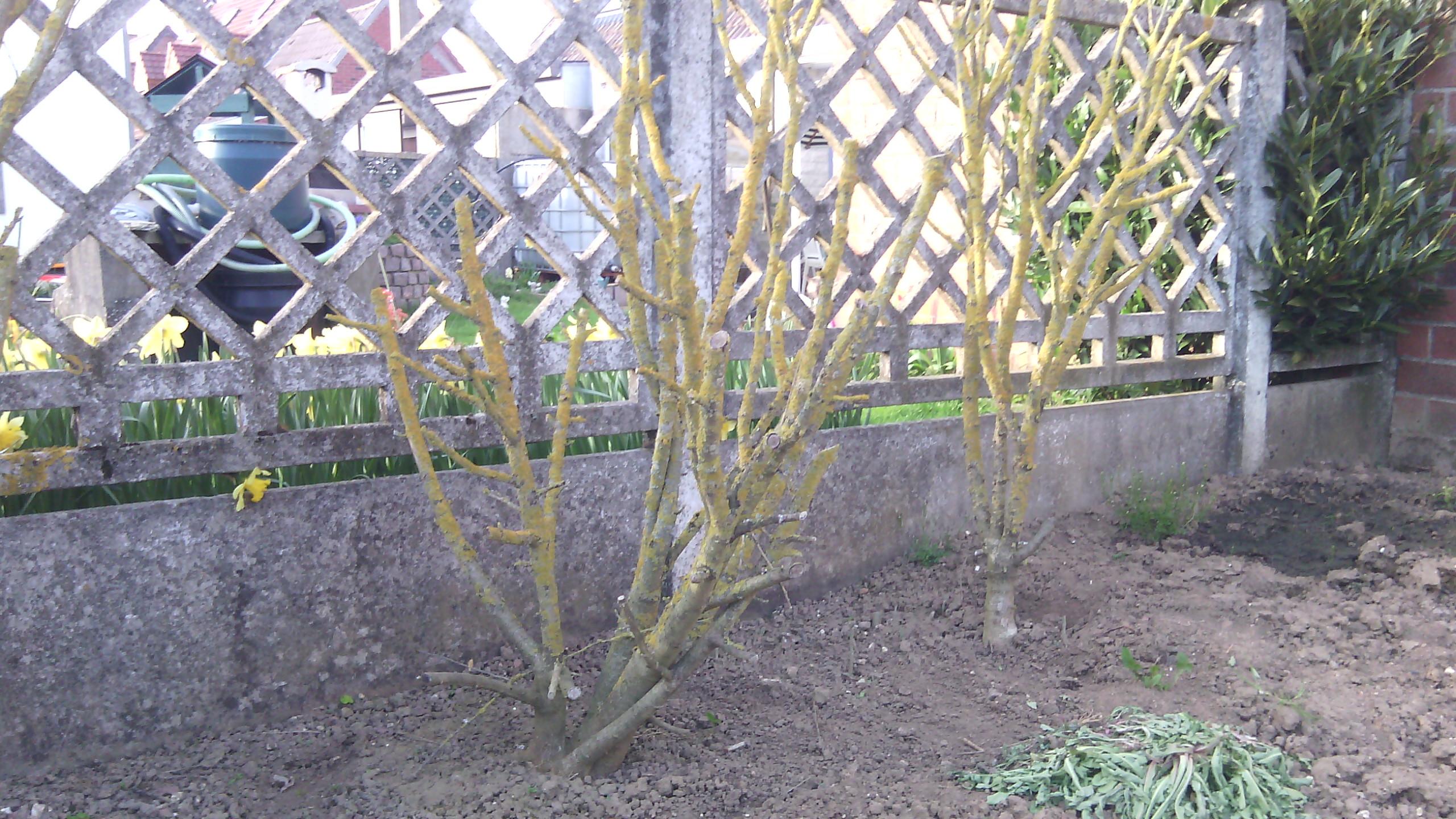 hibiscus (exterieur)  682762IMG20150413191342